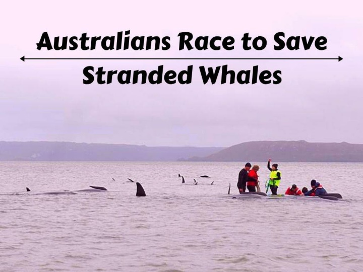 australians race to save stranded whales n.