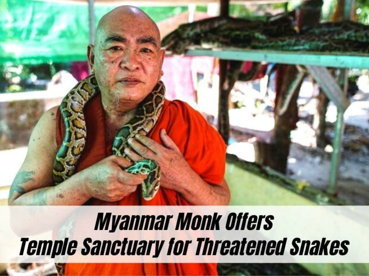 myanmar monk offers temple sanctuary for threatened snakes n.