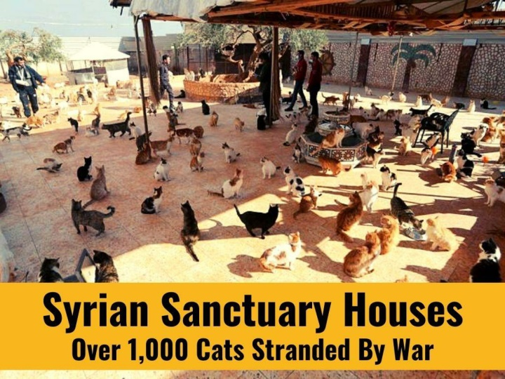 syrian sanctuary houses over 1 000 cats stranded n.