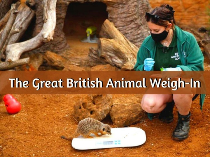 the great british animal weigh in n.