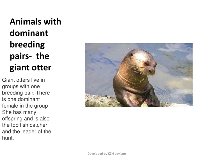 animals with dominant breeding pairs the giant otter n.