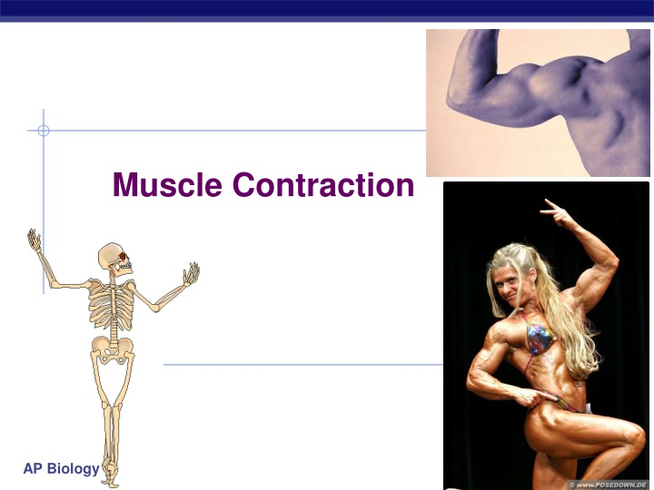 muscle contraction n.