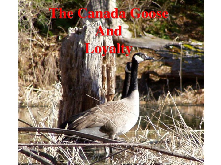 the canada goose and loyalty n.