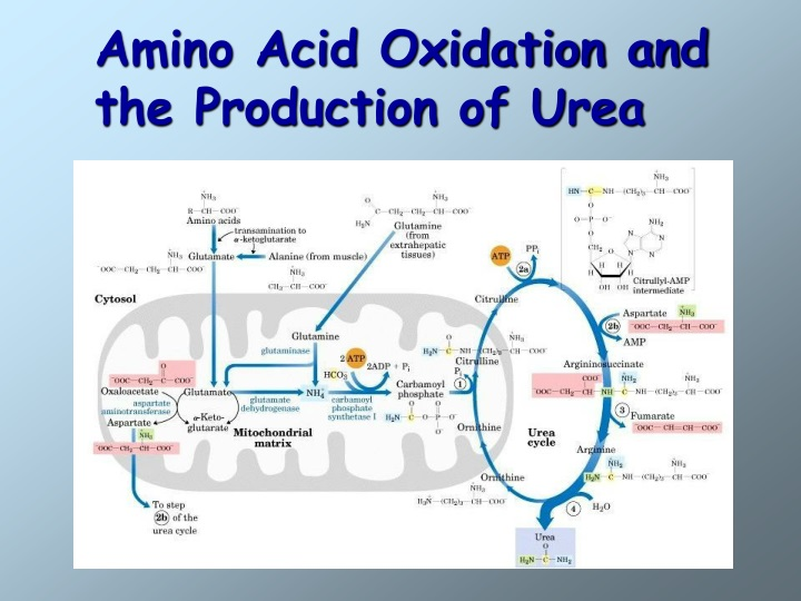 amino acid oxidation and the production of urea n.