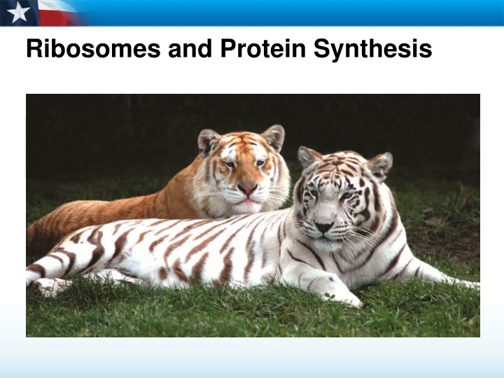 ribosomes and protein synthesis n.