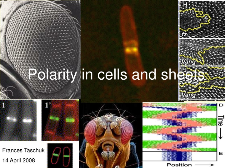 polarity in cells and sheets n.