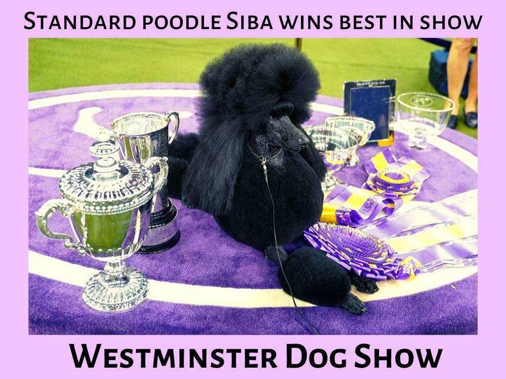 standard poodle siba wins best in show at westminster dog show l.